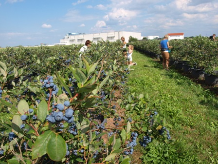 Dorodna plantacja borówki amerykańskiej – wysyp owoców kusi dzieci i dorosłych
