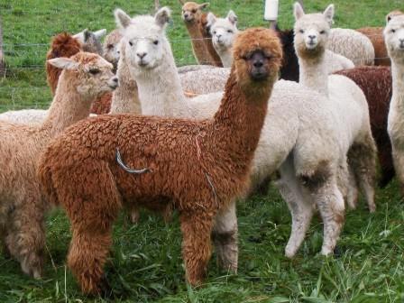 Młode alpaki otrzymujemy już w drugim roku hodowli